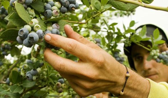 Proponen que los trabajadores rurales temporarios continúen cobrando el IFE durante el período de cosecha